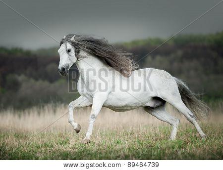 White Andalusian Horse Runs Free