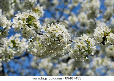 the girl on a lawn with phone, a green grass... the blossoming sweet cherry branch, spring
