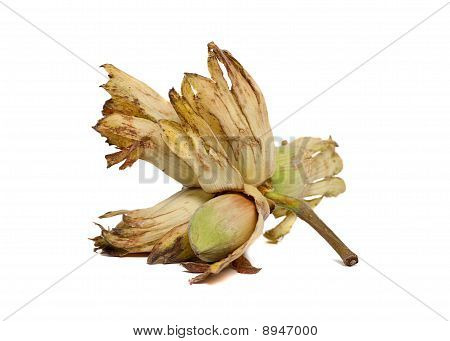 Cobnut - Hazelnut Or Filbert