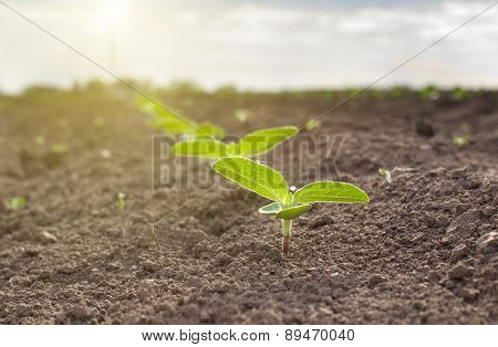 Sprouts On Dry Soil