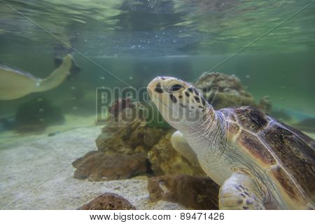 Hawksbill Turtles Live In The Sea Naturally.