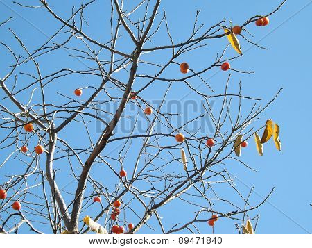 A Persimmon Tree in Autumn