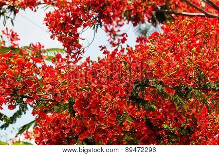Flame Tree In Bloom