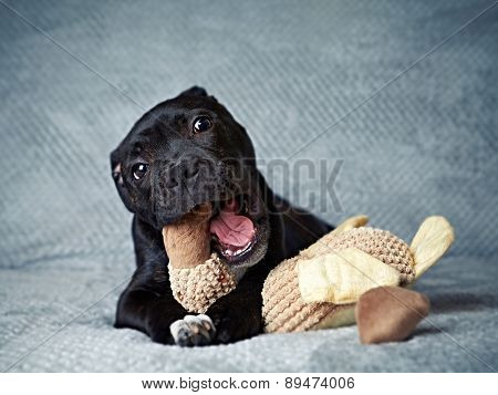 A Staffordshire Bull Terrier Puppy with a Toy