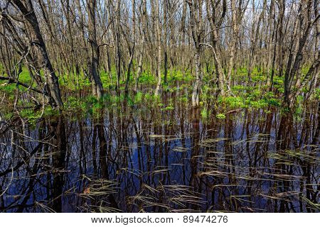Spring scene with flooded trees in forest