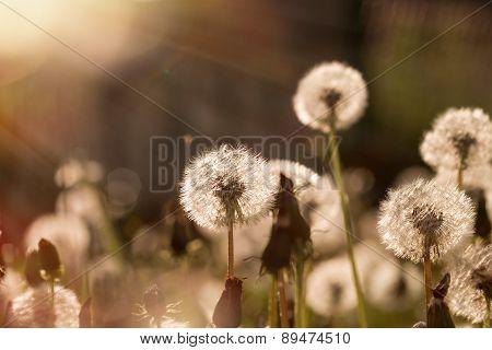 Soft focus on dandelion seeds