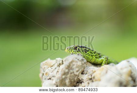 Garden Lizard Peering Over Rocks