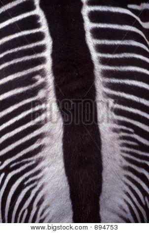 Zebra Stripes Closeup