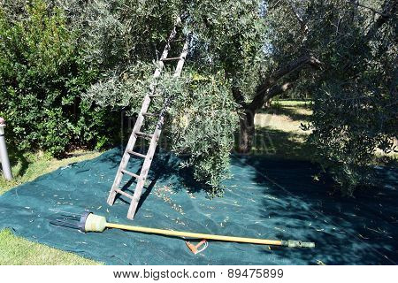 Ladder in the olive tree