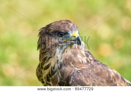 Portrait Buzzard