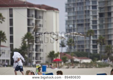 Seagull Flying Over Coronado Beach