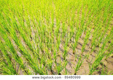 Sprouts Of Rice In The Rice Terraces In The Philippines.