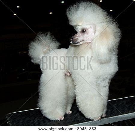Miniature Poodle looks back.