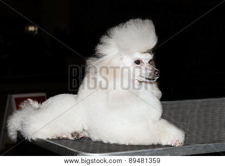 Miniature Poodle seats.