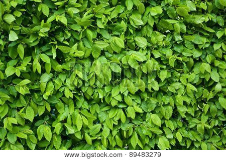 Texture Or Background Of Leaves