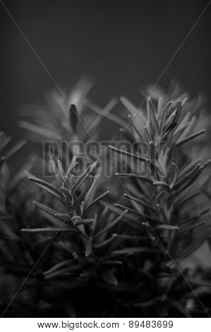 Fine Art Image Of Rosemary Plant In Black And White