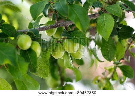 Green plums on branch.