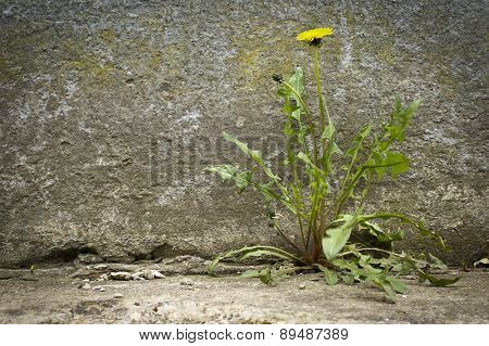 Dandelion with flower, growht of concrete