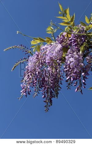 Flowering Purple Wisteria Vine