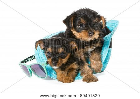 Two Little Yorkshire Terrier And  Beach Hat