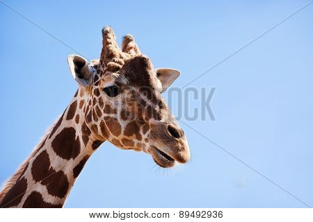African Giraffe