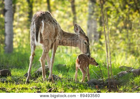 White-tailed Deer (odocoileus Virginianus) Fawn Resists Bath