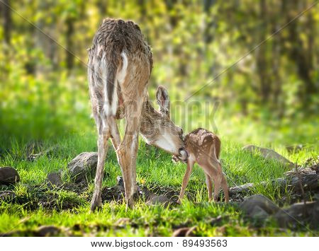 White-tailed Deer (odocoileus Virginianus) Fawn Bathtime