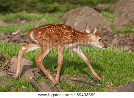 White-tailed Deer Fawn (odocoileus Virginianus) Runs Right