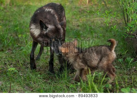 Black Wolf (canis Lupus) Greets Her Pup