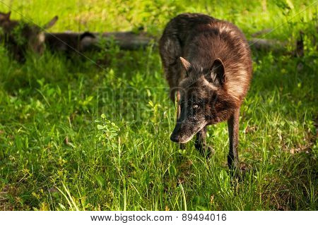 Black Wolf (canis Lupus) Looks Left