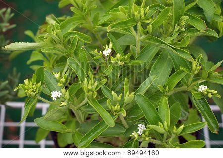 Stevia Plant In Bloom