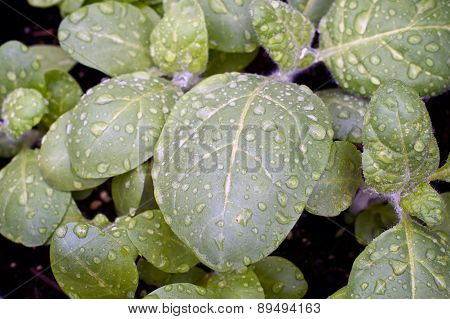 Young Hopi Tobacco After Rain