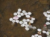 image of fallen  - fallen petals of cherry trees in the puddle - JPG