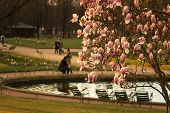 stock photo of stroll  - Blossoming magnolia tree in early evening in spring with blurred people strolling by small pond in park of Louvre Paris France - JPG