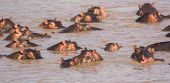 picture of amphibious  - Hippos resting and watchful in the Mara River - JPG