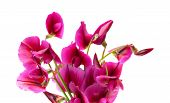stock photo of sweetpea  - flora of Gran Canaria Tangier pea isolated on white background - JPG