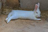 picture of dwarf rabbit  - Beautiful fluffy white rabbit sleep at home - JPG