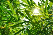 foto of bamboo leaves  - beautiful green leaf bamboo background and sun light - JPG