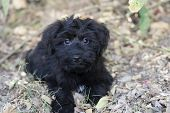 stock photo of irresistible  - Cute and adorable black puppy has big puppy love eyes in an outdoors closeup - JPG