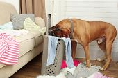 picture of dog clothes  - Dog demolishes clothes in messy room - JPG