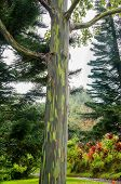 picture of eucalyptus trees  - Rainbow Eucalyptus Trees in rain, Maui, Hawaii, USA ** Note: Visible grain at 100%, best at smaller sizes - JPG