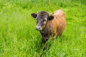 pic of calf  - Dark brown calf among the bright green high grass - JPG