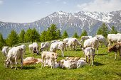 picture of calf cow  - Summer season on Italian Alps - JPG
