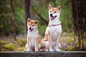 picture of puppies mother dog  - shiba inu dog with her puppy posing outdoors - JPG