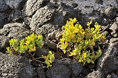 picture of canary-islands  - flora of Lanzarote Island  - JPG