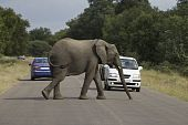 African Elephant crossing the road poster