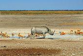 foto of rhino  - Isolated Rhino standing next a waterhole surrounded by springbok in Etosha national park - JPG