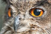 stock photo of owl eyes  - Nice portrait of an owl with orange eyes - JPG