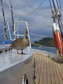 Duck On Yacht