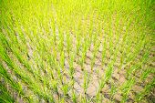 stock photo of rice  - Sprouts of rice in the rice terraces in the Philippines - JPG